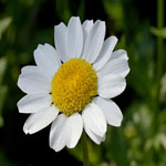 Seeds Chrysanthemum paludosum (Creeping daisy)-Seeds Wildflowers Chrysanthemum paludosum (Creeping daisy)