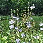 Cichorium intybus (Common Chicory)-Seeds Cichorium intybus (Common Chicory)