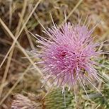 Seeds Cirsium neomexicanum (New Mexico Thistle)-Seeds Wildflowers Cirsium neomexicanum (New Mexico Thistle)