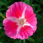 Seeds Clarkia amoena (Dwarf godetia)-Seeds Wildflowers Clarkia amoena (Dwarf godetia)