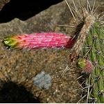 Cleistocactus smaragdiflorus-Seeds Cacti Cleistocactus smaragdiflorus
