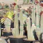 Cleistocactus strausii-Seeds Cacti Cleistocactus strausii
