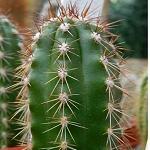 Clistanthocereus fieldianus-Seeds Cacti Clistanthocereus fieldianus