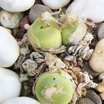 Seeds Conophytum pillansii-conophytum pillansii, Conophytum subfenestratum