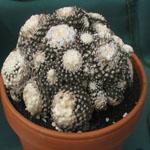 Copiapoa tenuissima-Seeds Cacti Copiapoa tenuissima