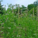 Coriandrum sativum (Cilantro) Seeds-Seeds Herbs Coriandrum sativum Coriander/Cilantro