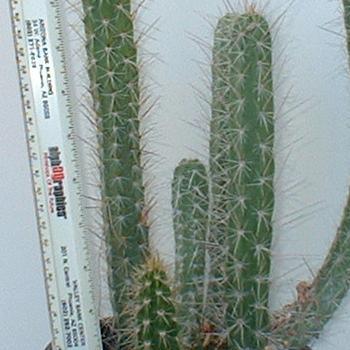 Corryocactus melanotrichus (Clustering cereus)-Corryocactus Melanotrichus, Clustering Cereus