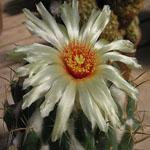 Coryphantha cornifera-Seeds Cacti Coryphantha cornifera