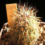 Coryphantha delaetiana-Seeds Cacti Coryphantha delaetiana, Coryphantha salm-dyckiana