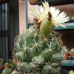 Coryphantha maiz-tablasensis-Seeds Cacti Coryphantha maiz-tablasensis