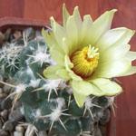 Coryphantha pseudoechinus-Seeds Cacti Coryphantha pseudoechinus