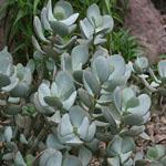 Seeds Crassula arborescens-Seeds Crassula arborescens