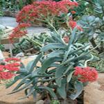 Seeds Crassula perfoliata-Crassula  perfoliata