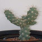 Cylindropuntia fulgida var. mamillata-Cylindropuntia Fuligida var. Mammillata Chain Fruit Cholla