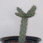 Cylindropuntia imbricata (Giant tree cholla)-Cylindropuntia Imbricata (Giant Tree Cholla)