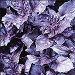 Ocimum basilicum purpurascens (Basil - Dark Opal)-Ocimum basilicum purpurascens (Dark Opal Basil)