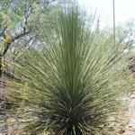 Seeds Dasylirion longissima-Dasylirion longissima, Dasylirion longissimum, mexican grass tree