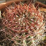 SEEDS Cacti D