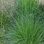 Seeds Deschampsia cespitosa (NORTRAN )-{SEEDS Native Grasses} Deschampsia cespitosa (Tufted hairgrass), NORTRAN