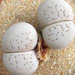 Seeds Dinteranthus vanzylii-Dinteranthus vanzylii