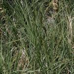 Seeds Distichlis stricta (Inland Saltgrass)-Seeds Distichlis stricta (Inland Saltgrass)