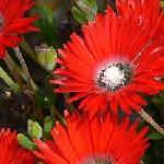 Seeds Drosanthemum species mix-Seeds Drosanthemum species mix