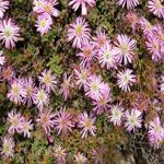 Seeds Drosanthemum floribundum-Seeds Drosanthemum floribundum