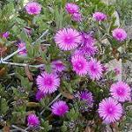 Seeds Eberlanzia disarticulatus-Seeds Eberlanzia disarticulatus