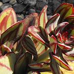 Seeds Echeveria nodulosa v. Nicolas Bravo-Seeds Echeveria nodulosa v. Nicolas Bravo
