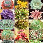"Echeveria species assorted (2.5"" pots)-Echeveria assortment, Echeveria collection"
