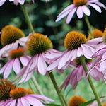 Seeds Echinacea purpurea-Seeds Wildflowers Echinacea purpurea (Purple Coneflower)