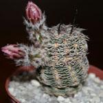 Echinocereus adustus-Seeds Cacti Echinocereus adustus