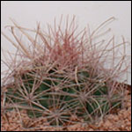 Ferocactus hamatacanthus ssp. sinuatus-Seeds Cacti Ferocactus hamatacanthus ssp. sinuatus