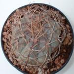 Echinocactus horizonthalonius (Texas blue barrel)-Echinocactus Horizonthalonius var. Moelleri, Texas Blue Barrel