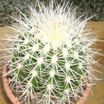 Echinocactus grusonii v alba-Seeds Cacti Echinocactus grusonii v alba