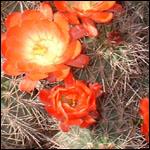Echinocereus species