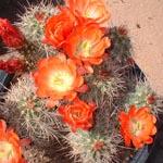 Echinocereus coccineus-Seeds Cacti Echinocereus coccineus (Mexican claret cup)