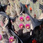 Echinocereus species mix-Echinocereus seeds, Hedgehog Species