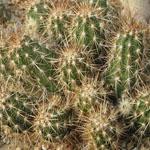 Echinocereus barthelowanus-Seeds Cacti Echinocereus barthelowanus