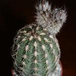 Echinocereus bonatzii-Seeds Cacti Echinocereus bonatzii