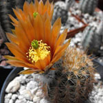 Echinocereus chloranthus-Echinocereus chloranthus
