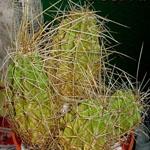 Echinocereus cinerascens-Echinocereus cinerascens