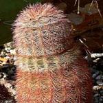 Echinocereus dasyacanthus-Seeds cacti Echinocereus dasyacanthus