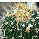 Echinofossulocactus crispatus-Seeds Cacti Echinofossulocactus crispatus