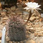 Echinopsis leucantha-Seeds Cacti Echinopsis leucantha