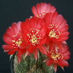 Echinopsis ancistrophora-Seeds Cacti Echinopsis ancistrophora