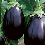 Eggplant - Black Beauty-Eggplant - Black Beauty