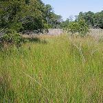Seeds Eleocharis rostellata (Beaked Spikerush)-Seeds Eleocharis rostellata (Beaked Spikerush)
