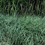Seeds Elymus glaucus (Blue Wildrye)-Seeds Elymus glaucus (Blue Wildrye ELKTON)