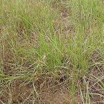 Seeds Elymus lanceolatus ssp. lanceolatus (Thickspike Wheatgrass)-Seeds Elymus lanceolatus lanceolatus (Thickspike Wheatgrass BANNOCK)